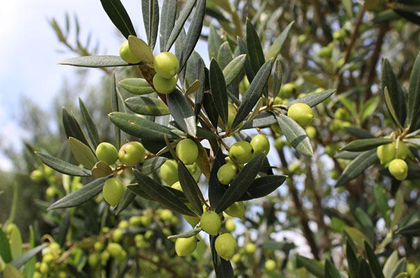 Azeite de Oliva, um dos alimentos mais antigo na alimentação humana,